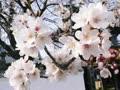 桜が咲きましたね、ヨンジュンssi~